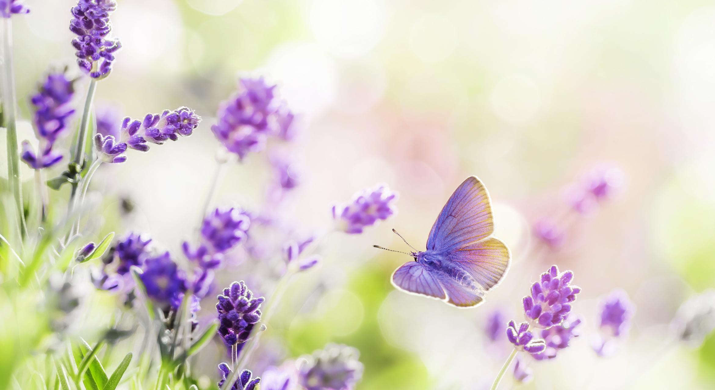 Purple Butterfly 2